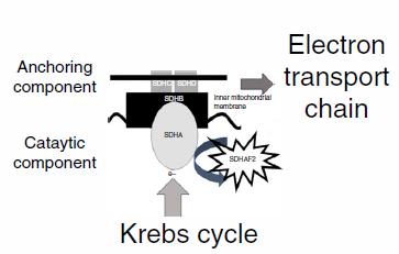琥珀酸脱氢酶缺陷性肿瘤:SDHB免疫组化染色结果的正确判读
