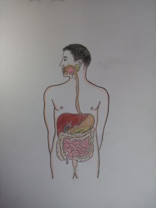 消化系统示意图