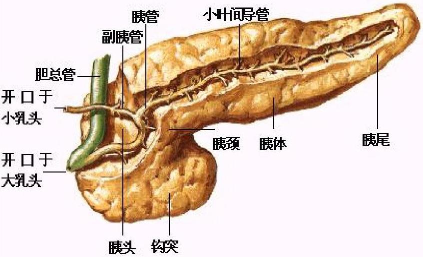 外科病理学实践:诊断过程的初学者指南   第10章 胰