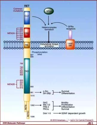 卡博替尼(COMETRIQ,XL184)治疗肺癌新进展