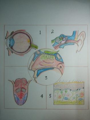 感觉系统示意图