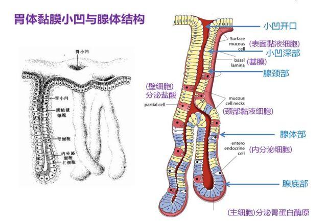胃癌病理基础知识大盘点